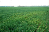 Control of barley yellow dwarf virus (BYDV)