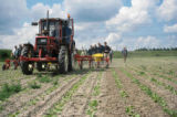 Weed control in sugar beets with steering systems