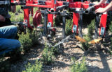 Mechanical weed control, machine, weeders, demonstration for herbs growers