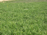 slugs green manure