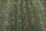 Prevention volunteer wheat plants in grass seed crops