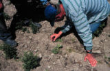 Demonstration mechanical weed control, growers observation, weeders, farmers participation,...