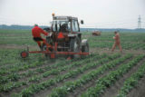 Weed control in potatoes with the rotorweeder