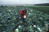 harvest of cabbage with internal tipburn