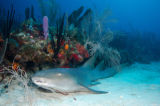 Nurse shark (Ginglymostoma cirratum) verpleegsterhaai