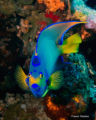 Queen angelfish Holacanthus ciliaris keizersvis  Paul Cathedral station