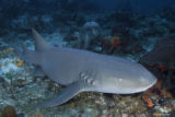 Nurse shark (Ginglymostoma cirratum, verpleegsterhaai)
