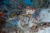 Caribbean spiny lobster (Caraïbische langoest,Panulirus argus)