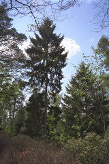Picea abies 1