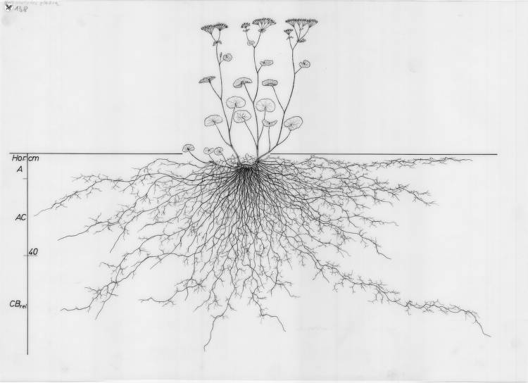 Drawing of the root system of Adenostyles glabra